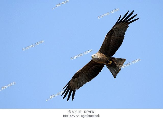 Black Kite in flight, underwing view