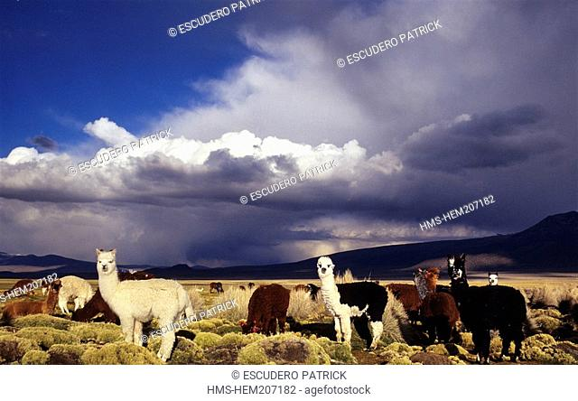 Bolivia, Oruro department, Sajama province, Sajama National Park, alpacas grazing in the high plateau's prairie