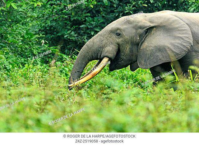 African forest elephant (Loxodonta cyclotis). Odzala-Kokoua National Park. Cuvette-Ouest Region. Republic of the Congo