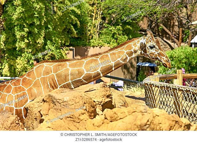 Giraffe's at the Reid Park Zoo in Tucson AZ