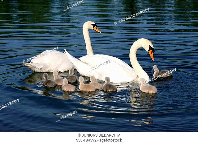 Mute Swan (Cygnus olor). Couple with cygnets swimming on an oxbow lake. Germany