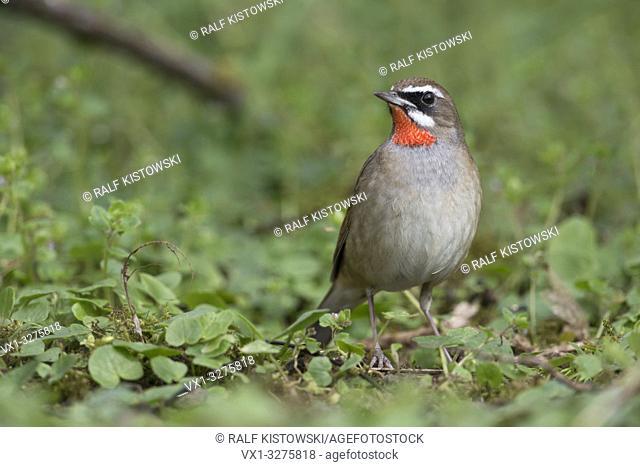 Siberian Rubythroat ( Luscinia calliope ), second calendar year, male bird, Hoogwoud, Netherlands.