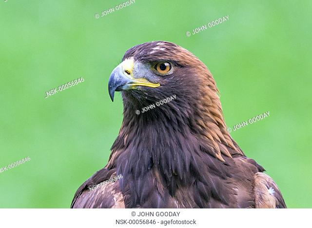 Close-up of a Golden Eagle (Aquila chrysaetos), England, Hertfordshire, Lee Valley