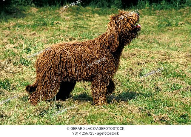 BARBET DOG, ADULT LOOKING UP