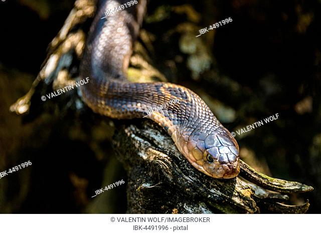 Common brown snake (Pseudonaja textilis), captive, deposits Australia, Thailand