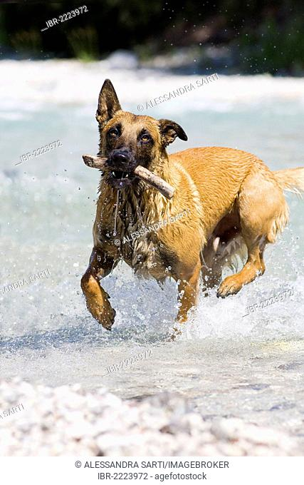 Belgian Shepherd or Malinois retrieving a stick out of water, North Tyrol, Austria, Europe