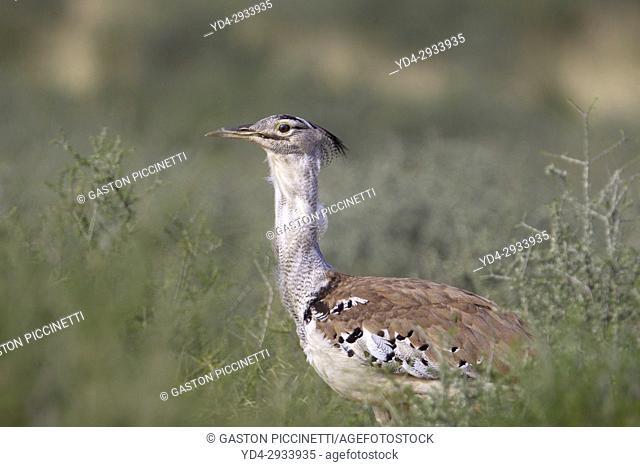 Kori bustard (Ardeotis kori), in the bush, Kgalagadi Transfrontier Park, Kalahari desert, South Africa/Botswana