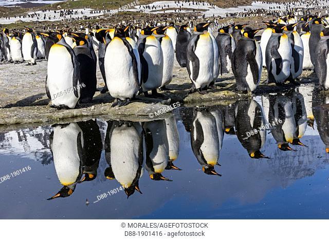 United Kingdom , South Georgia Islands , Saint Andrews plains , King Penguin  Aptenodytes patagonicus , adult