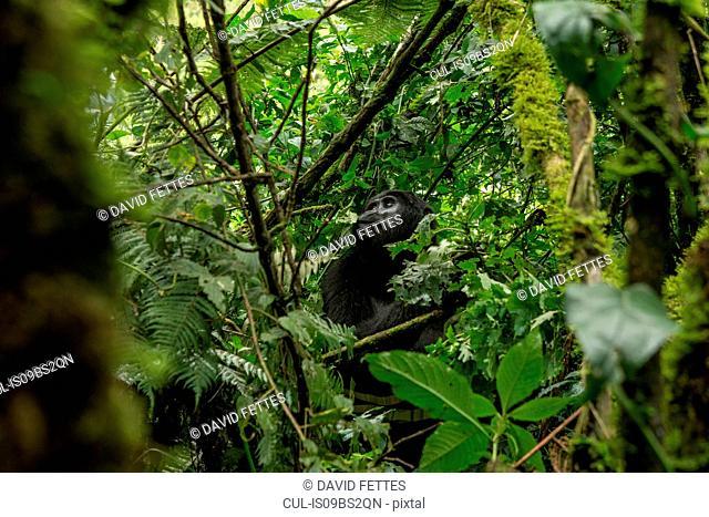 Mountain Gorilla (Gorilla beringei beringei), Bwindi Impenetrable Forest, Bwindi Mountains, Uganda