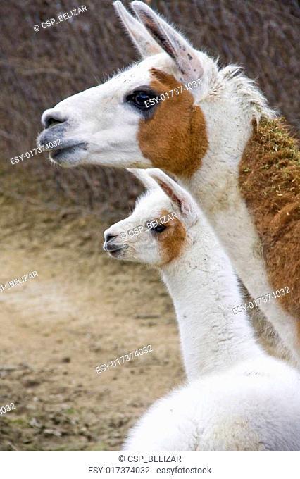 Llamas (Lama glama)