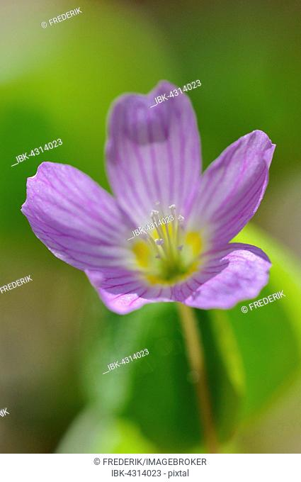 Common wood sorrel (Oxalis acetosella), single pink flower, North Rhine-Westphalia, Germany