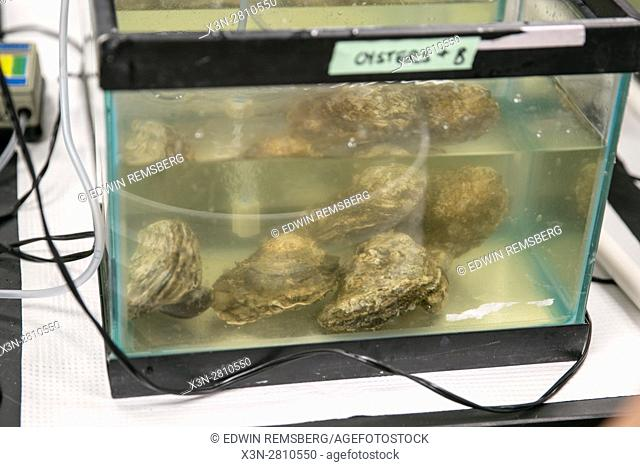 Oysters in captivity at research lab