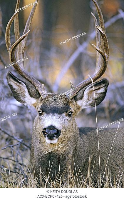Mule Deer buck, Jasper National Park, Alberta, Canada
