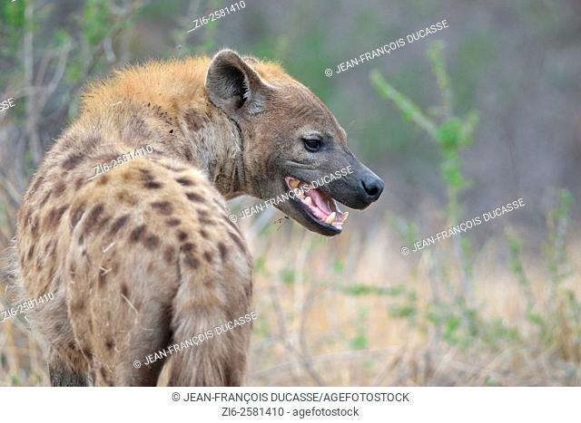 Spotted Hyena (Crocuta crocuta), adult male, standing, mouth open, early in the morning, Kruger National Park, South Africa, Africa