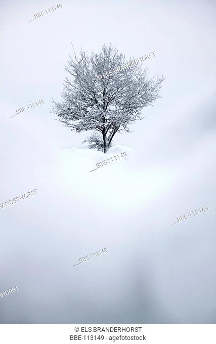 Oak surrounded by snow