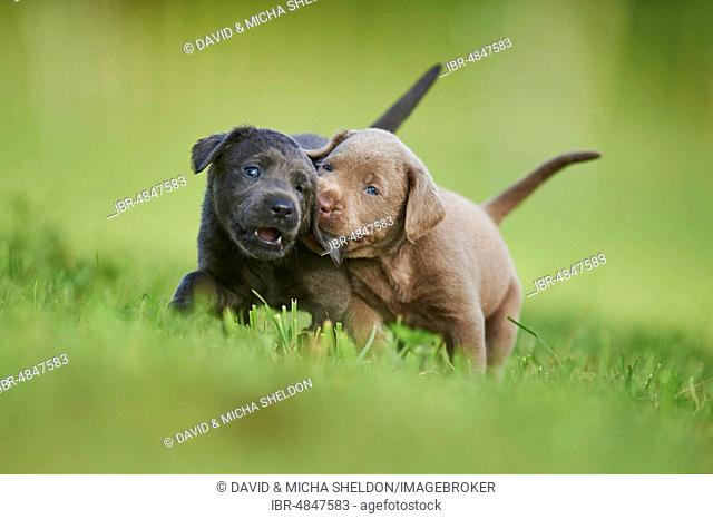 Black and Chocolate Labrador Retriever, pups playing on a meadow, Germany