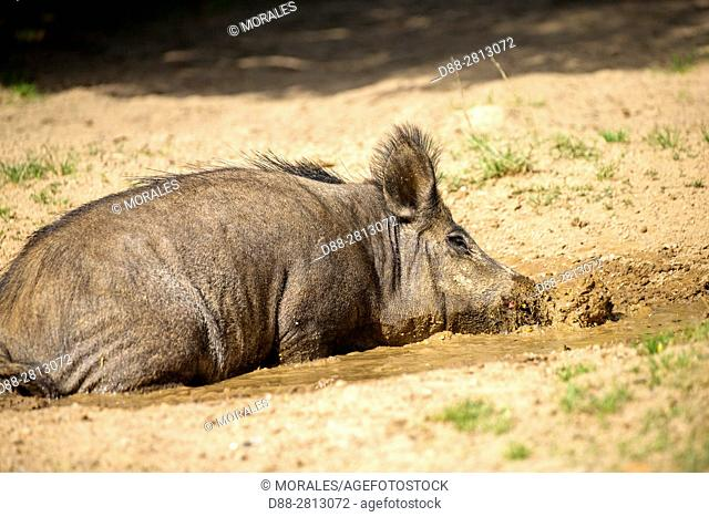 France, Haute Saone, Private park, Wild Boar (Sus scrofa), sow, in a little pond
