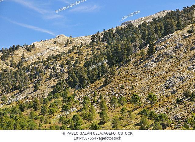 Pinsapar en el Parque Natural de la Sierra de las Nieves Málaga