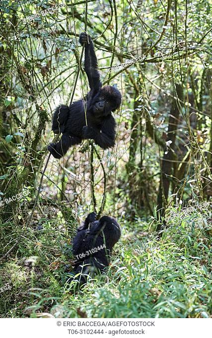 Mountain gorilla (Gorilla beringei beringei) two babies 15 months old playing, member of the Nyakagezi group, Mgahinga National Park, Uganda, Africa