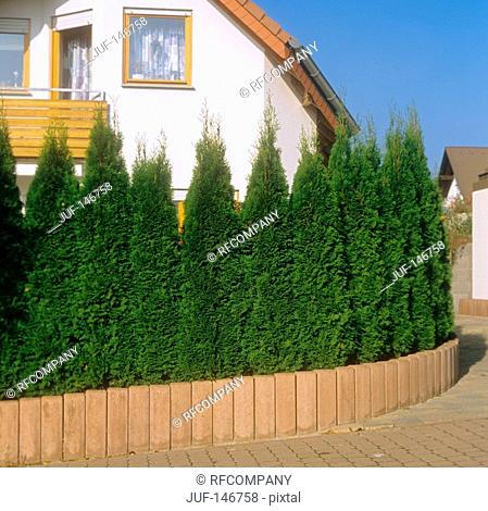 thujas in front of house / Thuja occidentalis