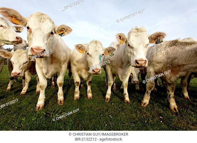 Young Charolais cattle, Allier, France, Europe