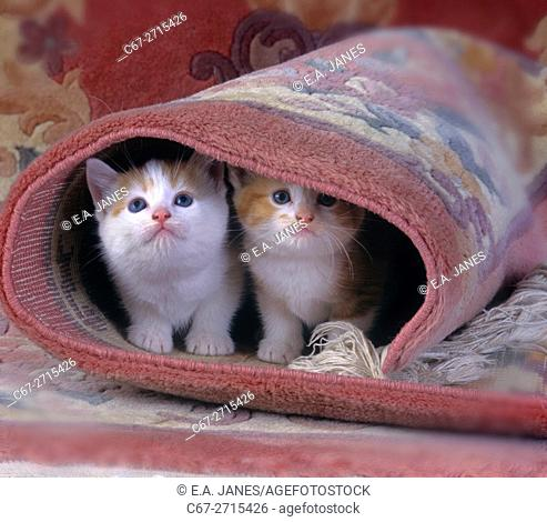 Ginger Kittens in rolled up Persian rug