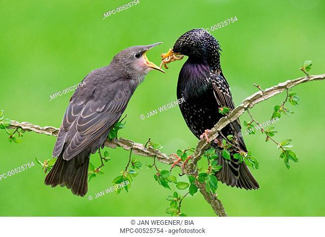 Common Starling (Sturnus vulgaris) feeding its offspring, Brandenburg, Germany