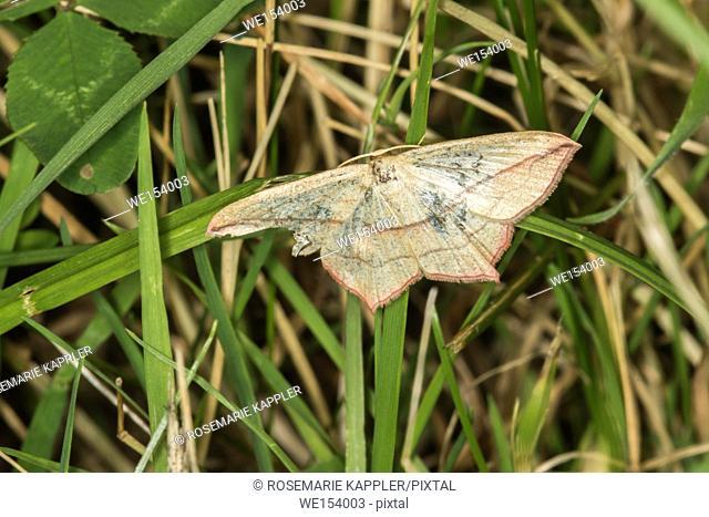 A blood vein moth is sitting on a leaf