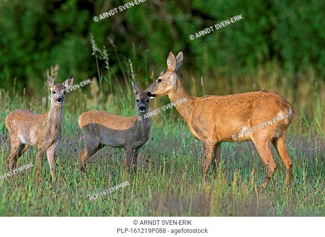 European roe deer (Capreolus capreolus) female with two fawns in grassland at forest's edge in summer