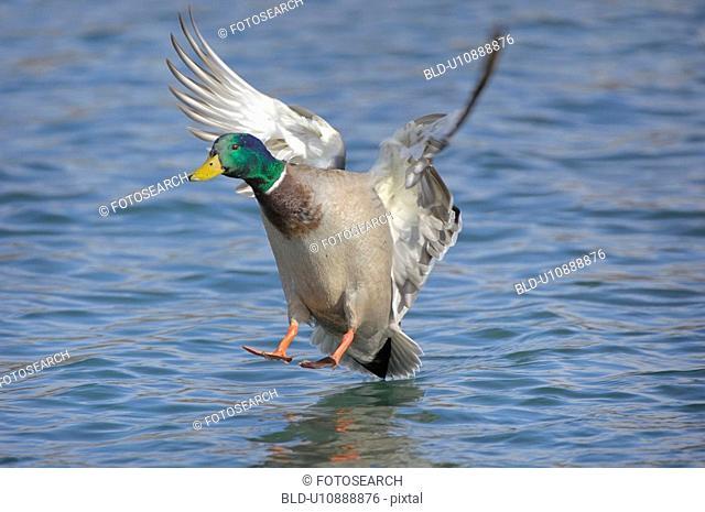 duck, animal, drake, bird, approach, enterich, anas