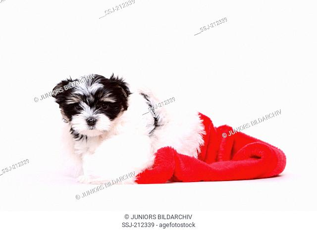 Biewer Terrier. Puppy (8 weeks old) in a Santa Claus hat. Studio picture against a white background. Germany