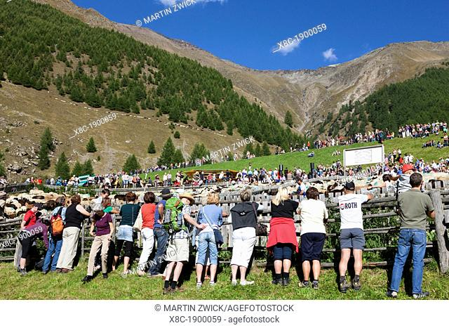 Transhumance - the great sheep trek across the main alpine crest in the Oetztal Alps between South Tyrol, Italy, and North Tyrol