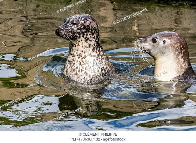Two juvenile common seals / harbor seals / harbour seals (Phoca vitulina) swimming