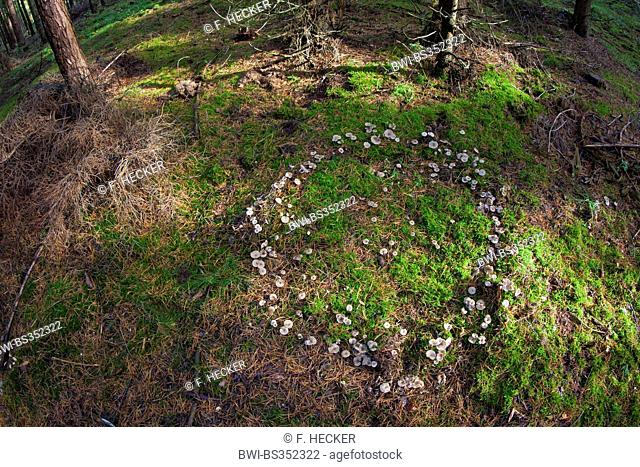 Clitocyboid Mushroom (Clitocybe spec.), fairy ring from Clitocyboid Mushrooms, Germany