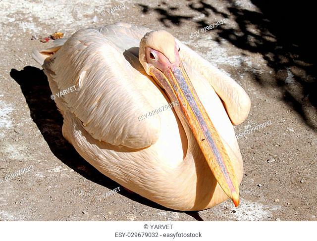 Great pelican in the zoo (Pelecanus onocrotalus) close