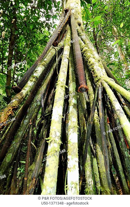 Aerial roots of a palm tree, paxiúba Iriartea exorriza in a flood plain, Acre, Brazil, 2008