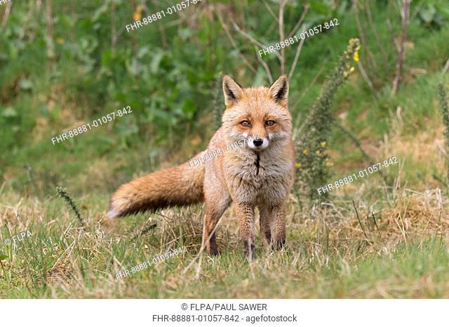 Red Fox (Vulpes vulpes) adult female, standing on grass, Devon, England, UK, April, (captive)