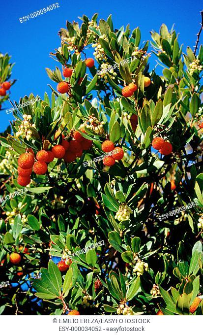Strawberry tree, Arbutus unedo