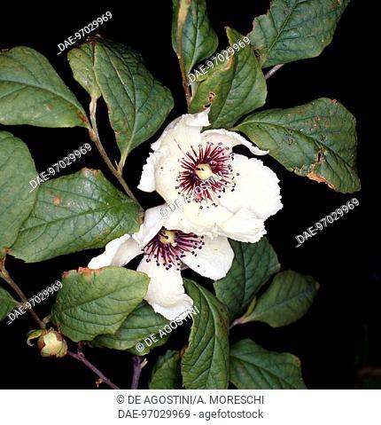 Silky stewartia, Silky camellia or Virginia stewartia (Stewartia malacodendron), Theaceae