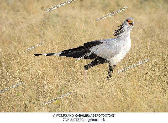 A Secretary bird (Sagittarius serpentarius) is looking for food in the dry savannah grassland of Samburu National Reserve in Kenya