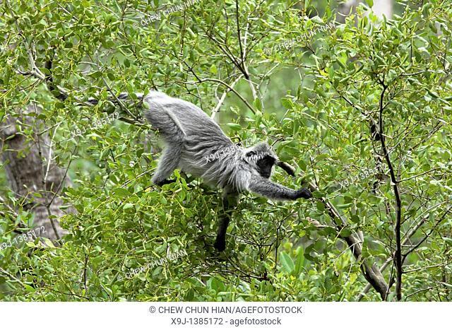 Silver Leaf Langur at Bako National Park, Sarawak, Malaysia