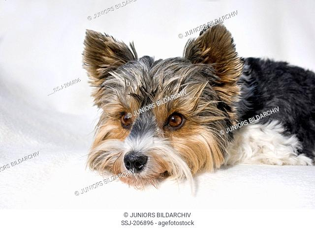 Biewer Terrier. Bitch lying on a white blanket. Germany