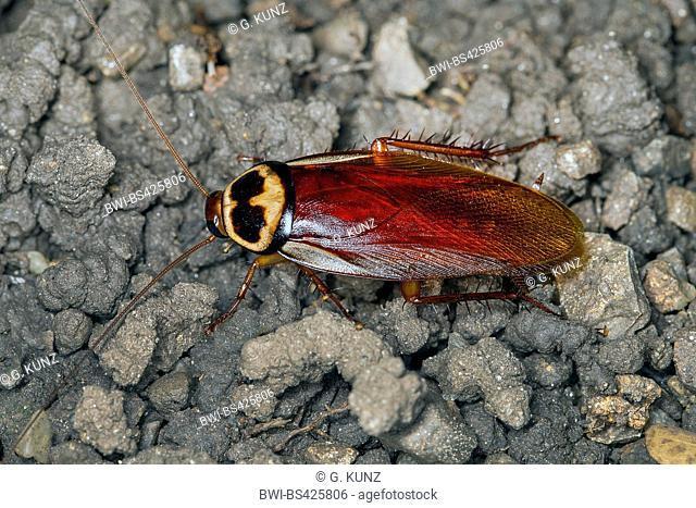 Australian cockroach (Periplaneta australasiae, Blatta australasiae), on the ground, Austria
