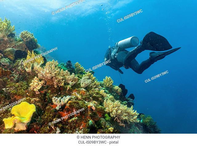 Scuba diver passing colourful coral reef close to Komodo Island, Nusa Tenggara Timur, Indonesia