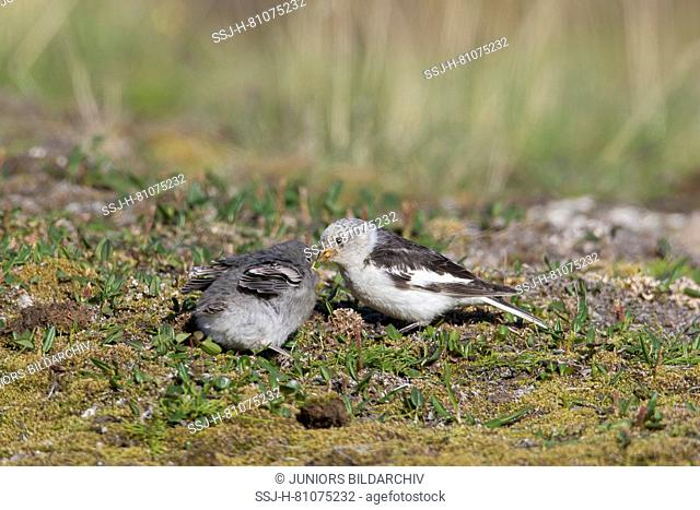 Snow Bunting (Plectrophenax nivalis). Male feeding its chick. Svalbard, Norway