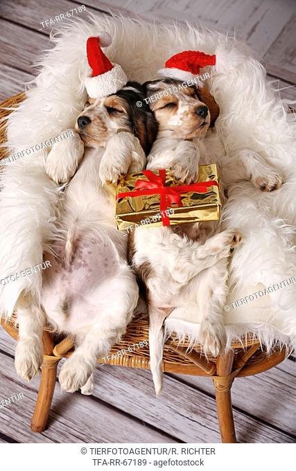 2 sleeping English Cocker Spaniel Puppies