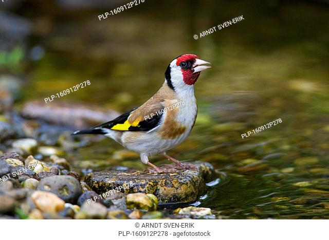 European goldfinch (Carduelis carduelis) drinking water from brook