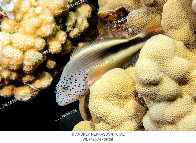 Black-sided hawkfish, Freckled hawkfish or Forster's hawkfish (Paracirrhites forsteri) rests on a coral reef, Red sea, Dahab, Sinai Peninsula, Egypt