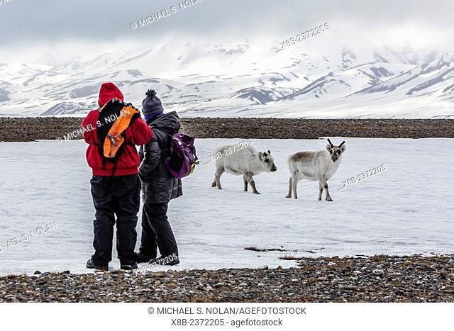 Lindblad Expeditions National Geographic guests with reindeer, Rangifer tarandus, in Bellsund, Spitsbergen, Svalbard, Norway