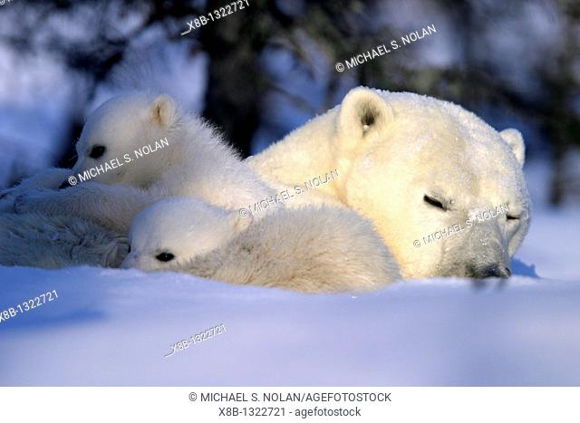 Polar Bear cubs snuggled and resting on mothers body, Ursus maritimus, taiga, Churchill, Manitoba, Hudson Bay, Canada